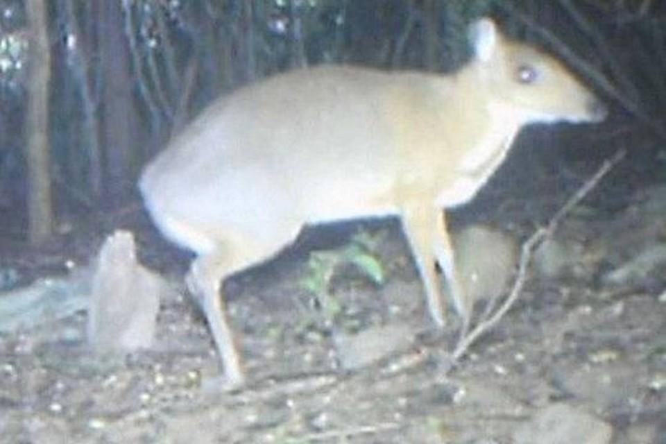 Считавшийся вымершим меленький олень размером с кошку найден во Вьетнаме.