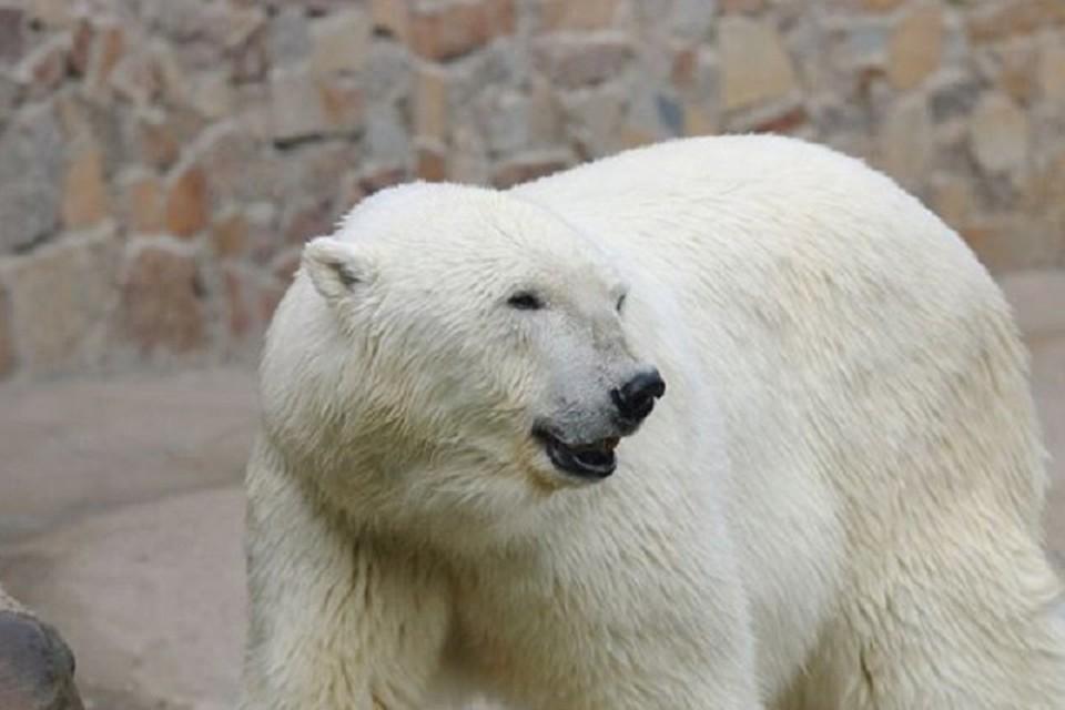 Старейшая медведица Ленинградского зоопарка Услада отметит 32-й день рождения / Фото: Ленинградский зоопарк