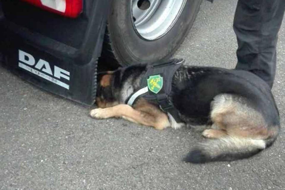 Служебная собака нашла гашиш, от которого пытался избавиться водитель из Казахстана. Фото: Гродненская таможня.