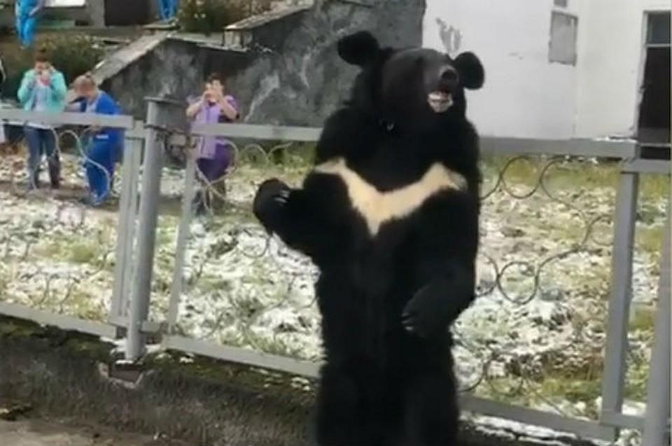 Генпрокуратура: над «плачущим» медведем, привязанным к забору поликлиники в Бодайбо, не издевались. Фото: скриншот видео.