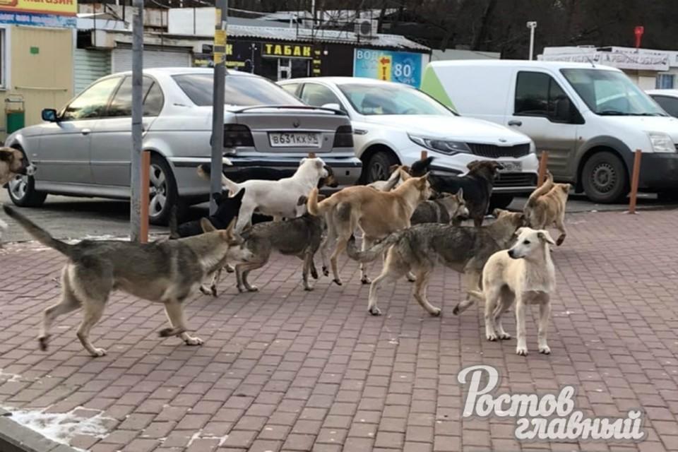 Стая бродячих собак пугает прохожих в Ростове. Фото: Ростов Главный