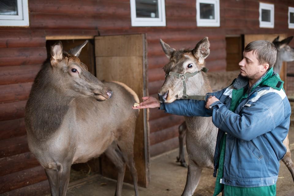 До нового дома олени-маралы добирались двое суток на фуре