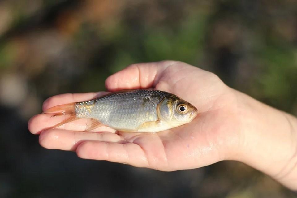 Гаффская болезнь передается людям при поедании рыбы