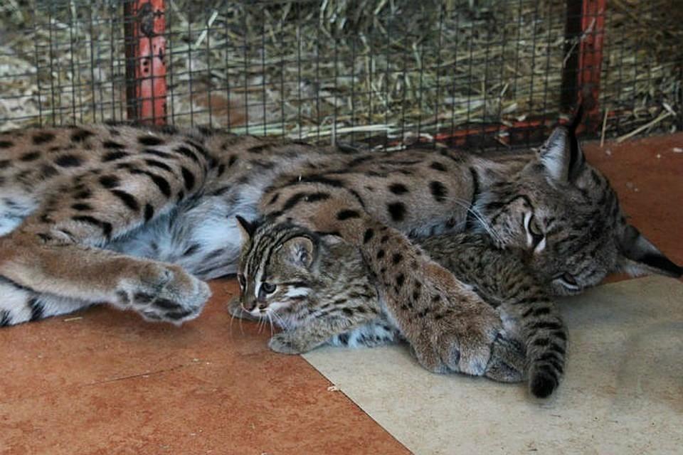 Рысь Алена из сибирского зоопарка завела нового поклонника - енотика Принца.