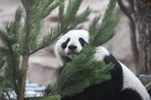 Выпавший снег привел в восторг панду Диндин из Московского зоопарка