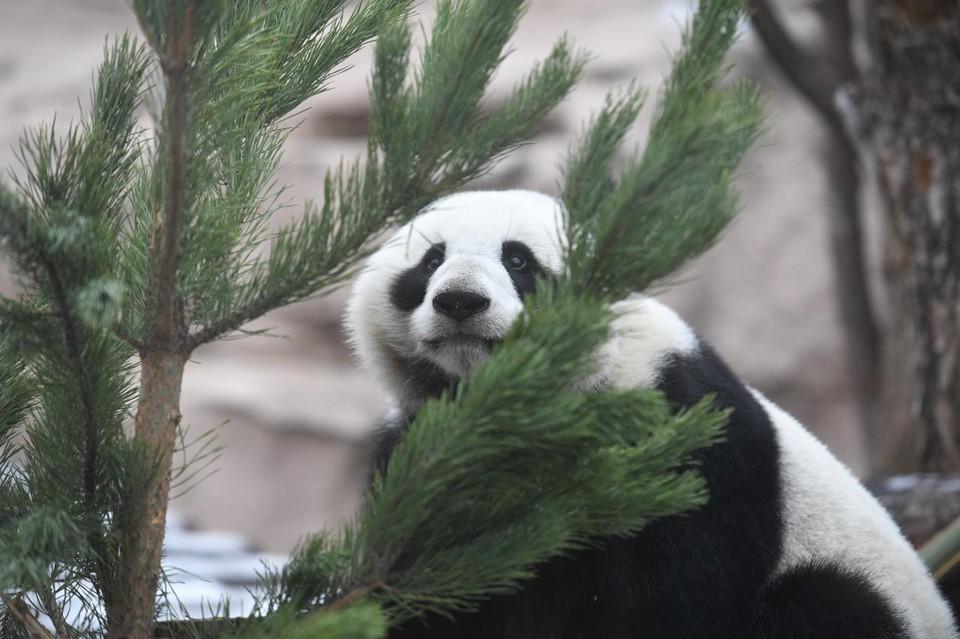 Выпавший на Старый Новый год снег привел в восторг панду Диндин из Московского зоопарка