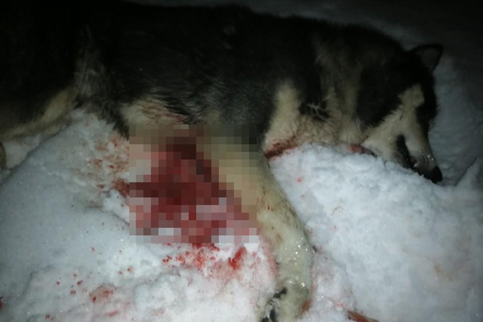 «Малышка умерла мгновенно»: В Нижнем Новгороде зверски расстреляли хаски. ФОТО: Лариса Саплина.