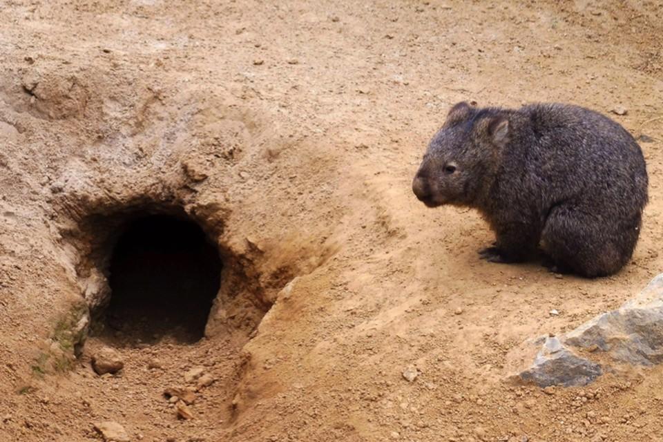 Вомбат у своей норы, которая стала убежищем более мелким животным.