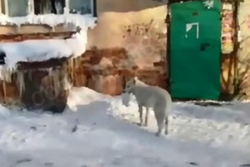 """Облизывает и защищает: собака усыновила бездомного котенка в Братске. Фото: """"Инцидент Иркутск"""""""