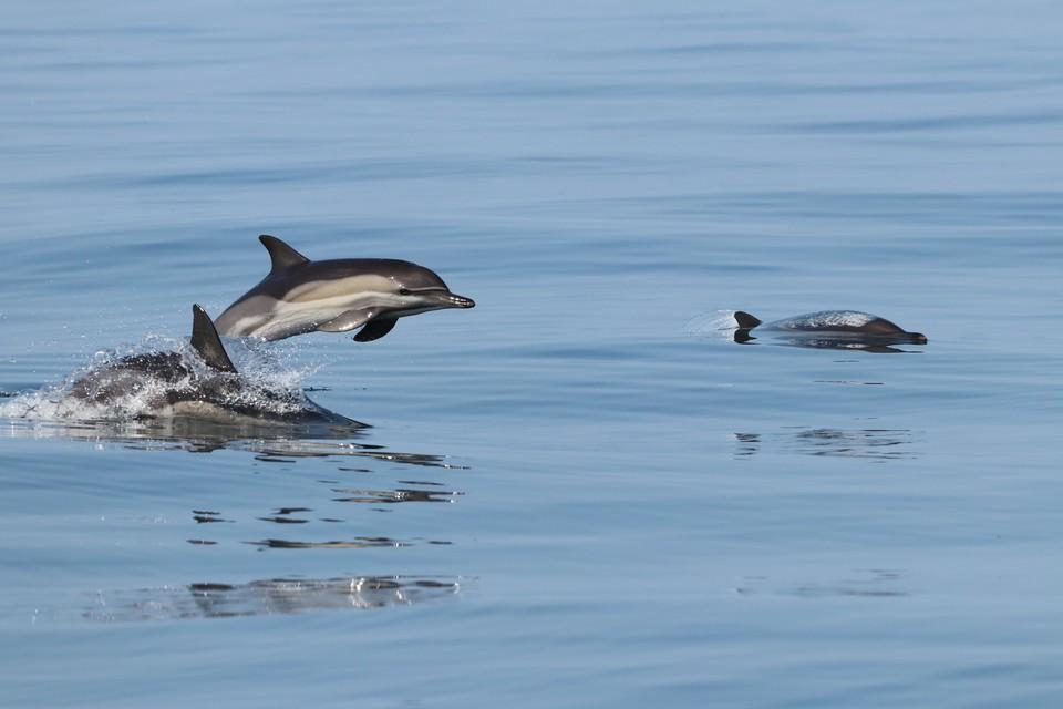 Ученые изучили больше 2 тысяч особей черноморских дельфинов. Фото : пресс-служба Роснефти.