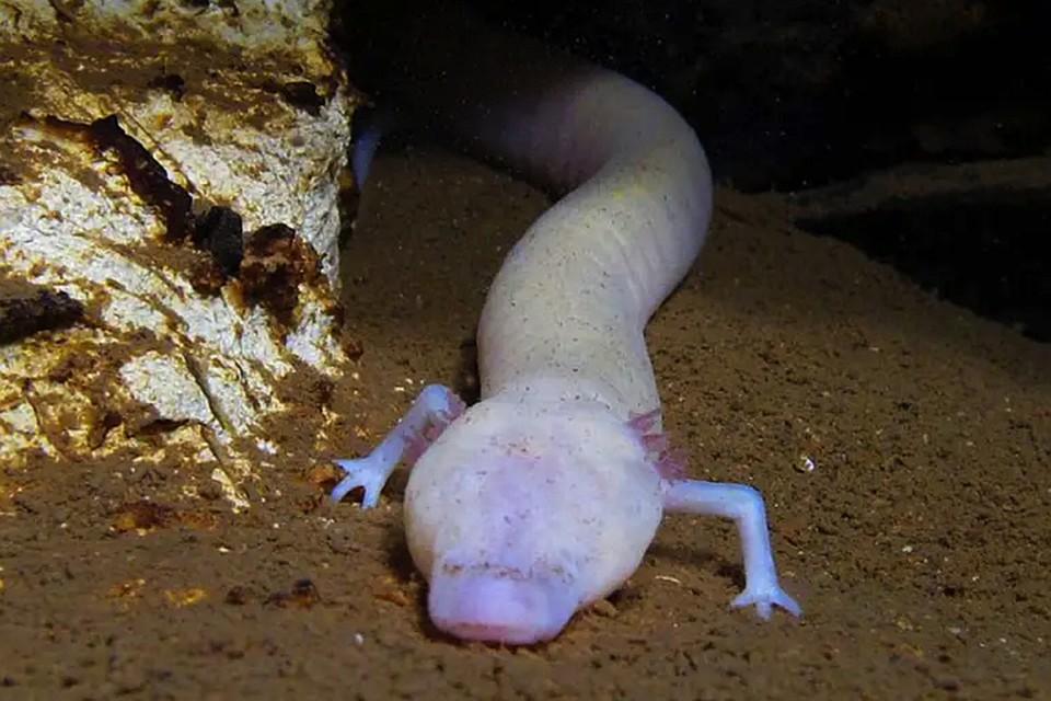 Похоже, пещерная саламандра - самое ленивое существо на Земле, а не ленивец.