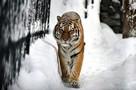 В Приморье неизвестные убили одного из самых редких хищников в мире