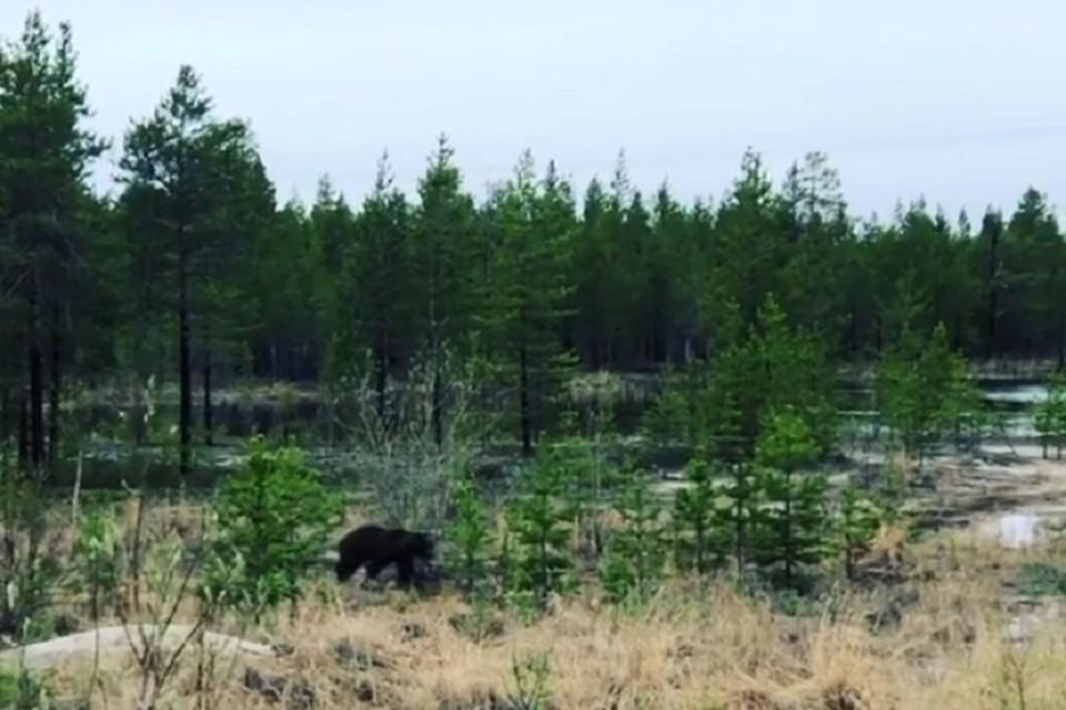 Глава Ханымея предупредил земляков о медведе, которого сам встретил на днях Фото: instagram.com/azatmektep