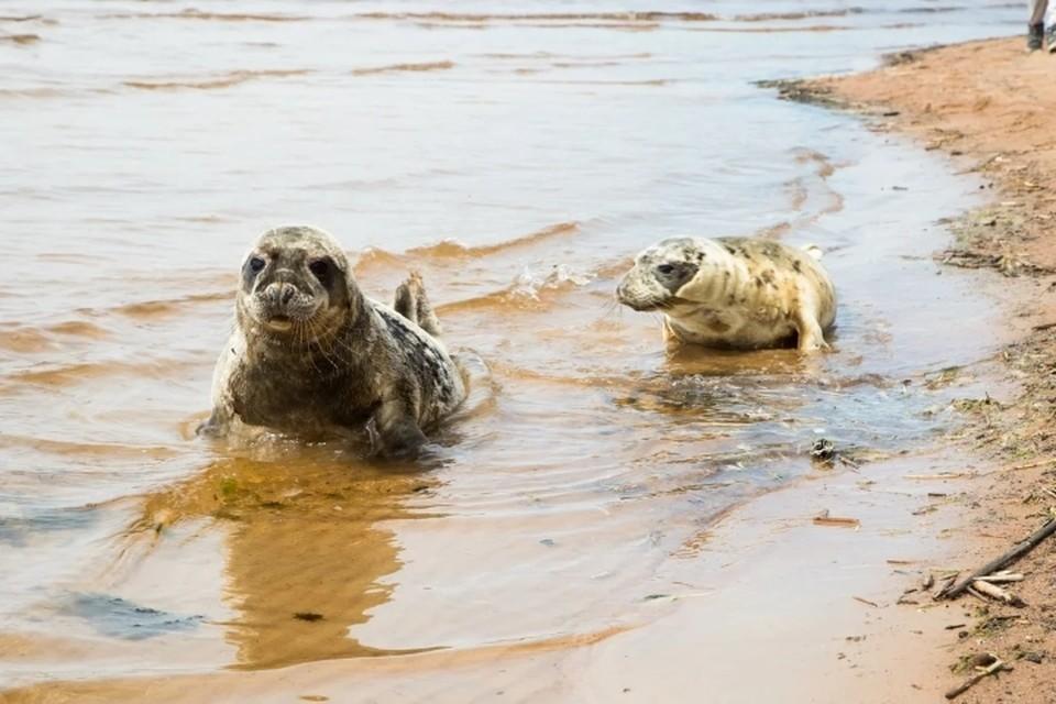 Трех тюленят выпустили в Финский залив после реабилитации и лечения. Фото: ГУП «Водоканал Санкт-Петербурга»