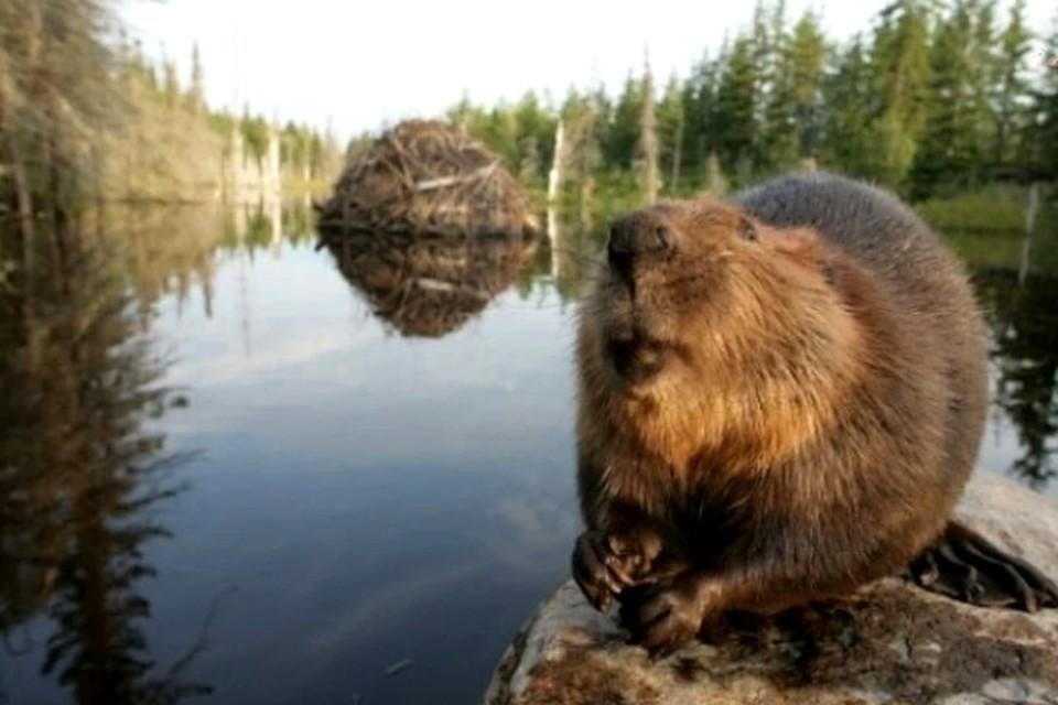 Beaver | rodent | Britannica | 640x960