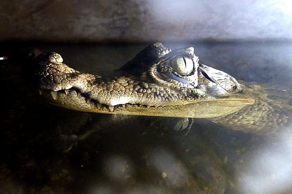 Крокодил куплен 8 лет назад в зоомагазине, сейчас рептилия вне закона. Фото: Предоставлено героями материала