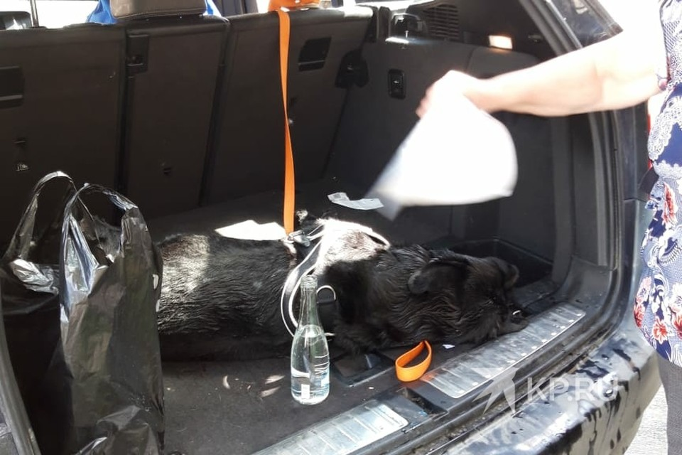 """Собака провела в закрытой машине больше двух часов. Фото: предоставлено читателем """"КП"""""""