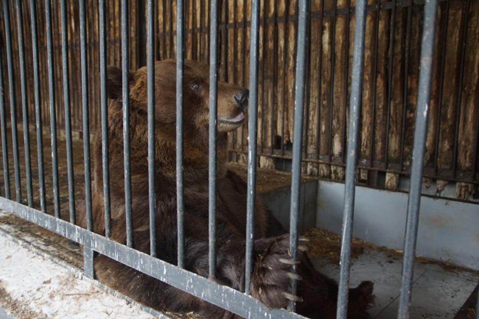 Мишка живет уже два года возле аэродрома в Мурмашах.