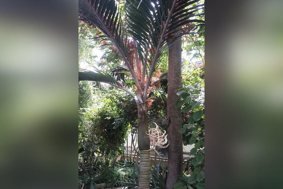 Пальма плодоносит маленькими красными ягодками. Фото: Ботанический сад Донецка