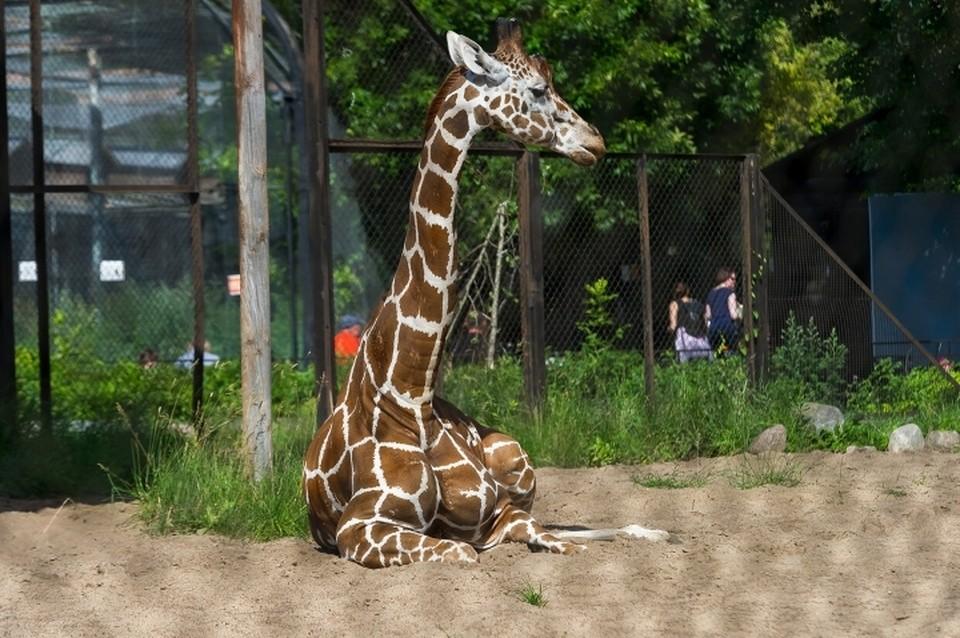 Ленинградский зоопарк празднует юбилей.