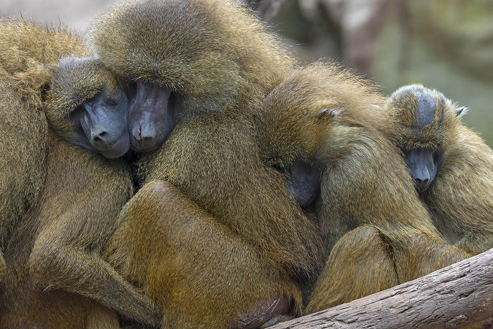 Зооактивисты требуют защиты духовной и физической жизни приматов