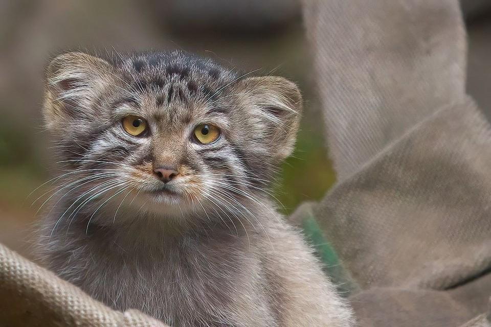 У манулов с возрастом меняется цвет глаз. Фото: новосибирский зоопарк