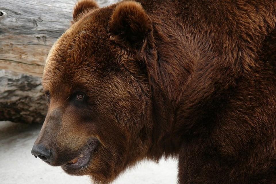 «Как не скормить дрон медведю?»: на Сахалине косолапый хищник сбил беспилотник фотографа