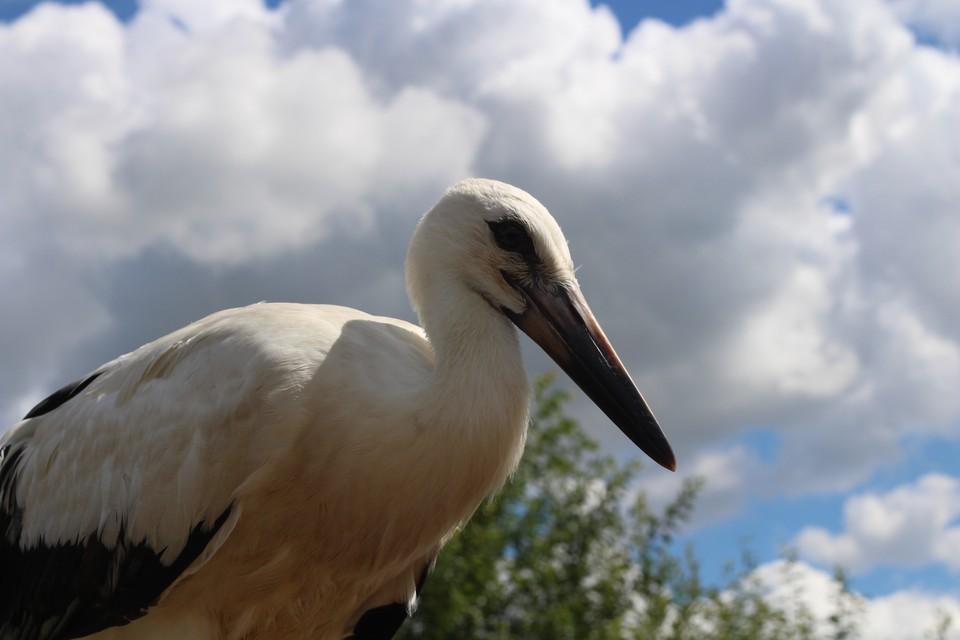 По словам орнитологов, птенец Паша выбрал ближайшее из существующих мест зимовки - дельту Волги - и летит к нему.