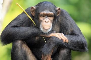 К чему снится обезьяна: толкование снов про приматов