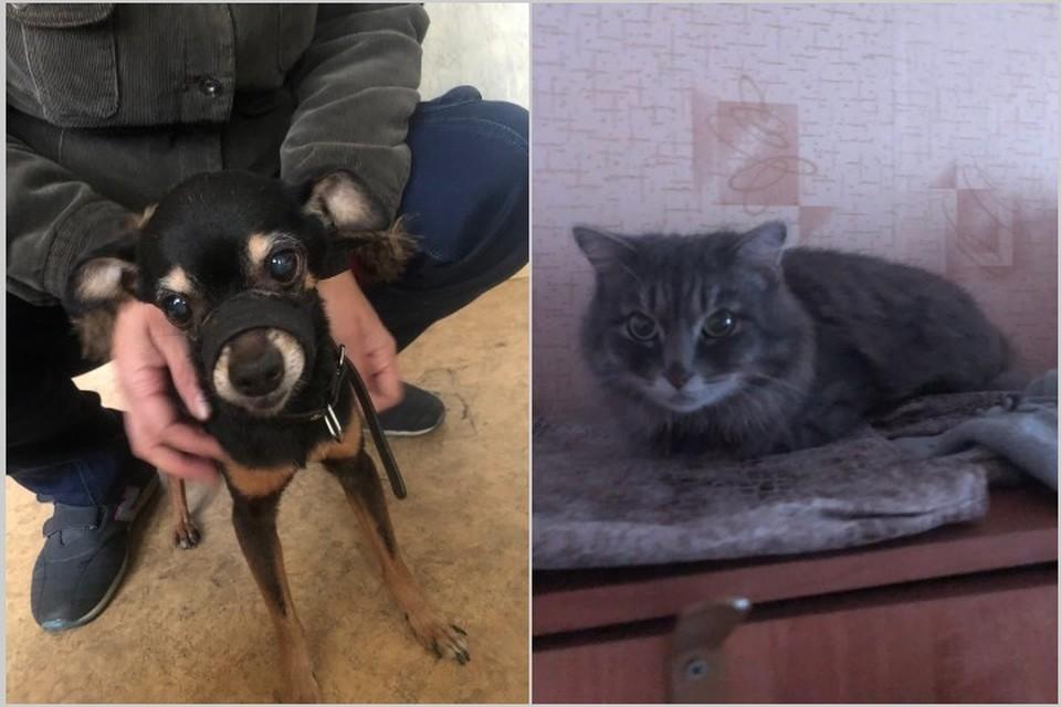 Маленький герой по кличке Тайсон: запертый в квартире тойтерьер спас от гибели себя и друга-кота