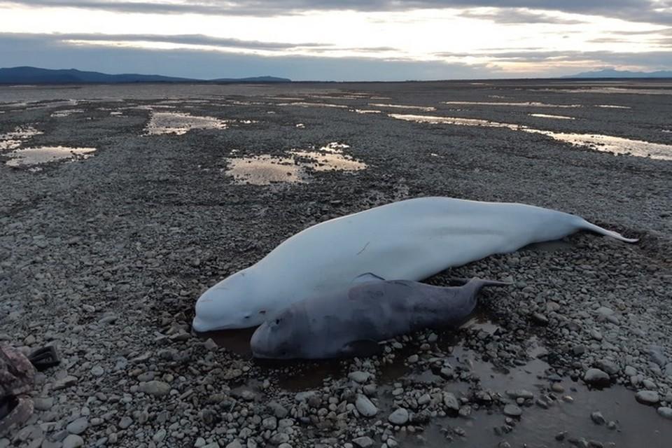 В Хабаровском крае спасатель помог двум зубатым китам и детенышу, которые остались на суше во время отлива