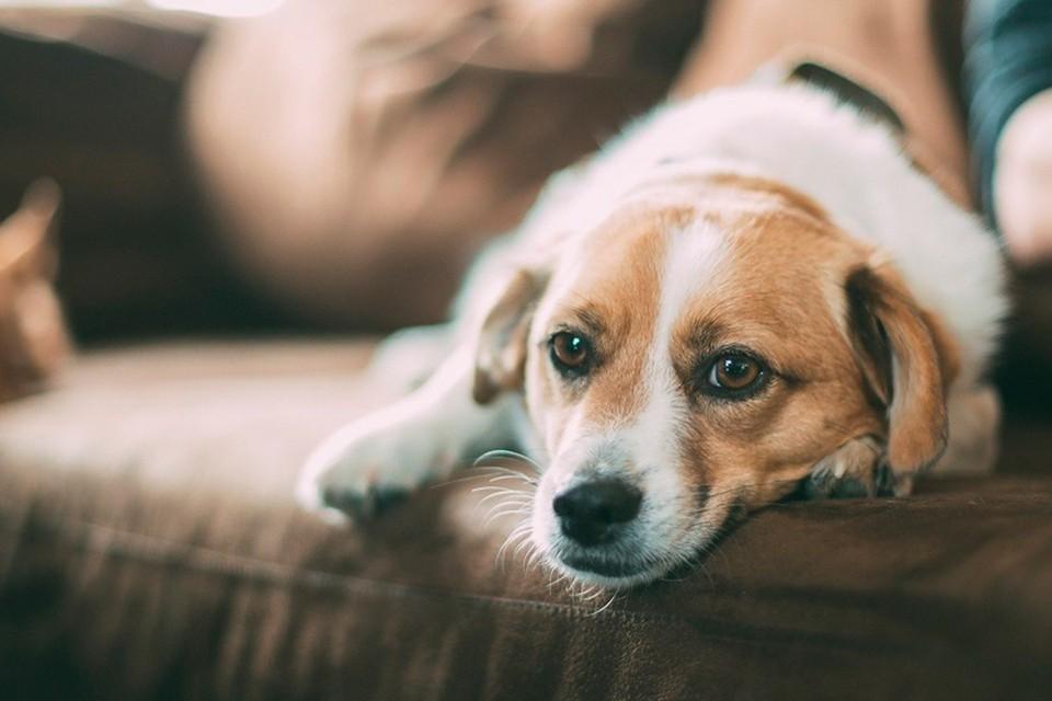 Недержание мочи у собаки