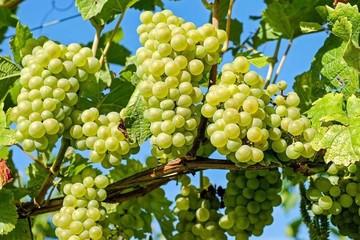 Подкормка винограда: когда, как и чем удобрять