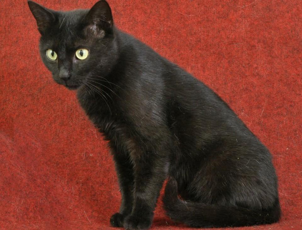 Черный котяра лаской и хитростью прописался в костромском приюте