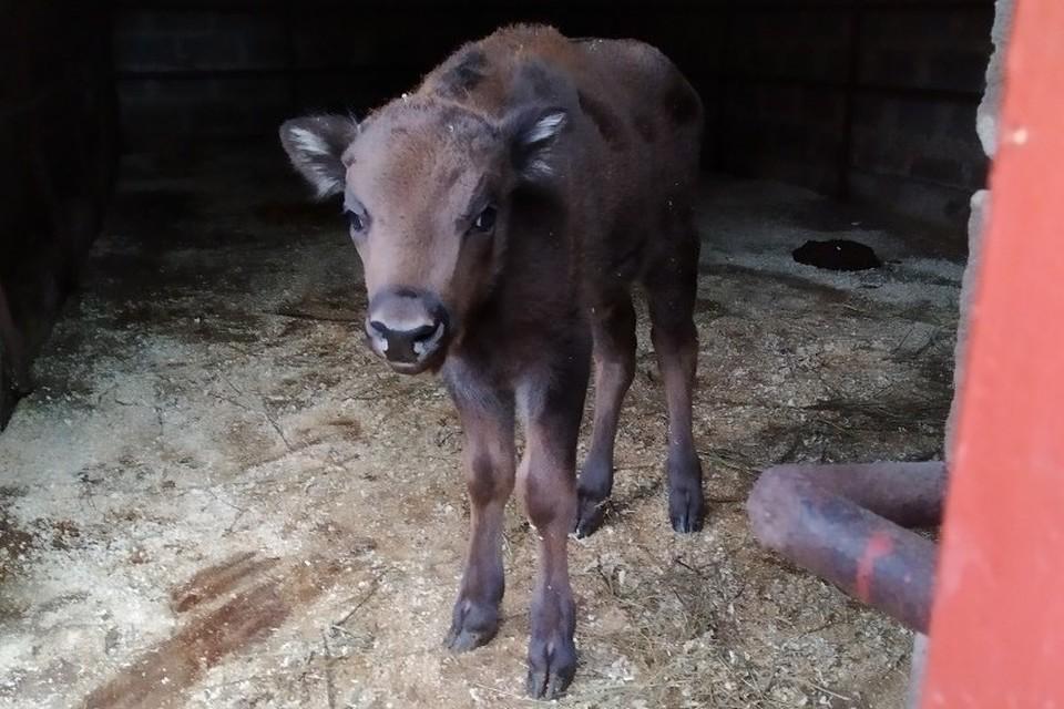 В Липецком зоопарке у зубров родился детеныш
