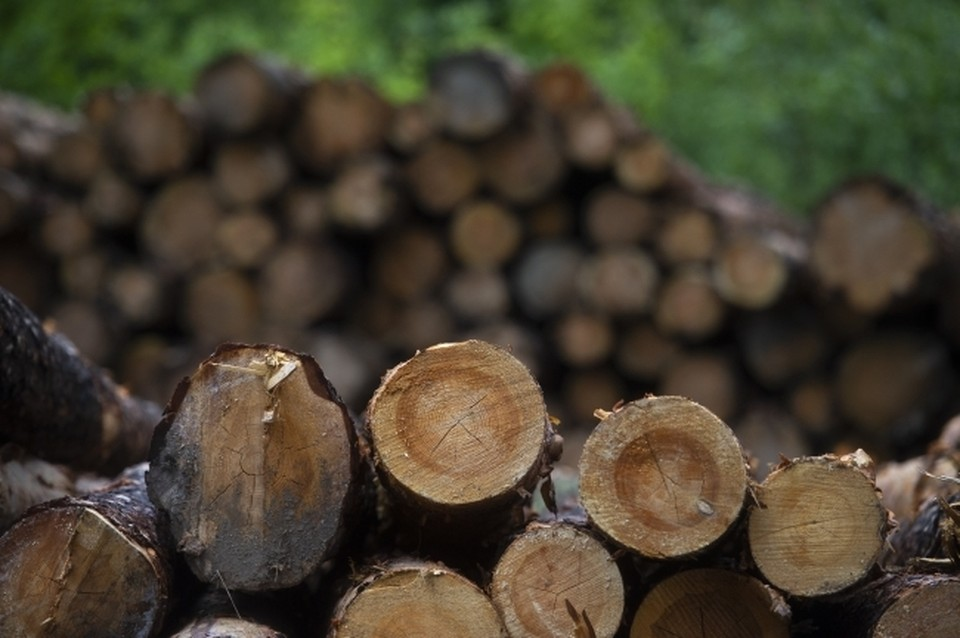 Деревья рубились, продавались, а откаты шли чиновнику