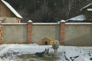 Овчарка приютила одинокую овечку во дворе частного дома