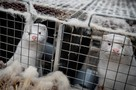 Убить всех норок из-за коронавируса: поможет ли истребление животных спасти людей