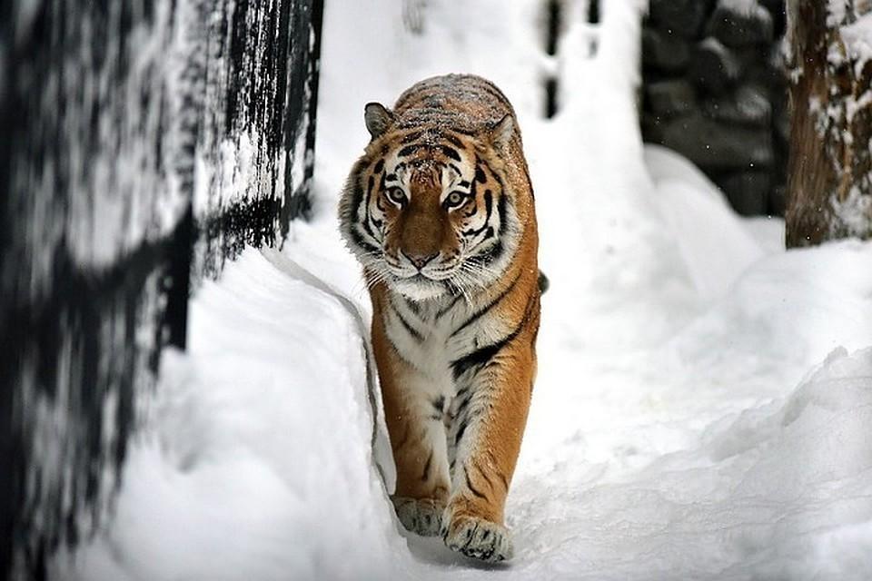 Мужчина набрался смелости и вышел из машины, чтобы заснять тигра