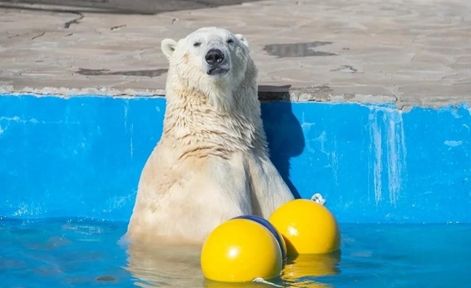 Айон очень любит купаться в холодном бассейне. Фото: ростовский зоопарк