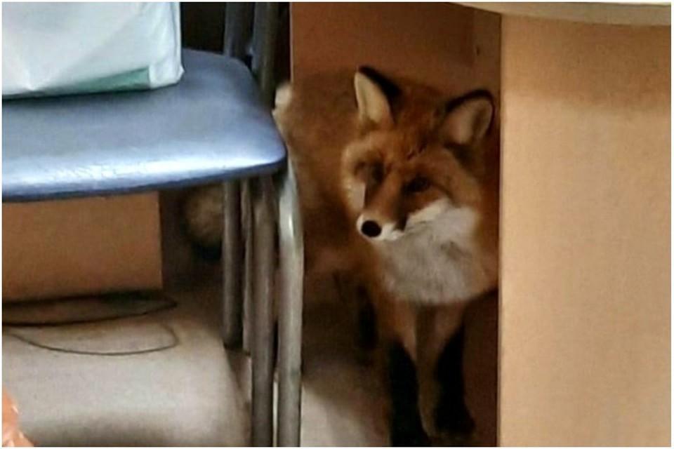 Лиса сама пришла к человеку за помощью - юркнула в двери одной из контор. Фото: novosti_yakutska.