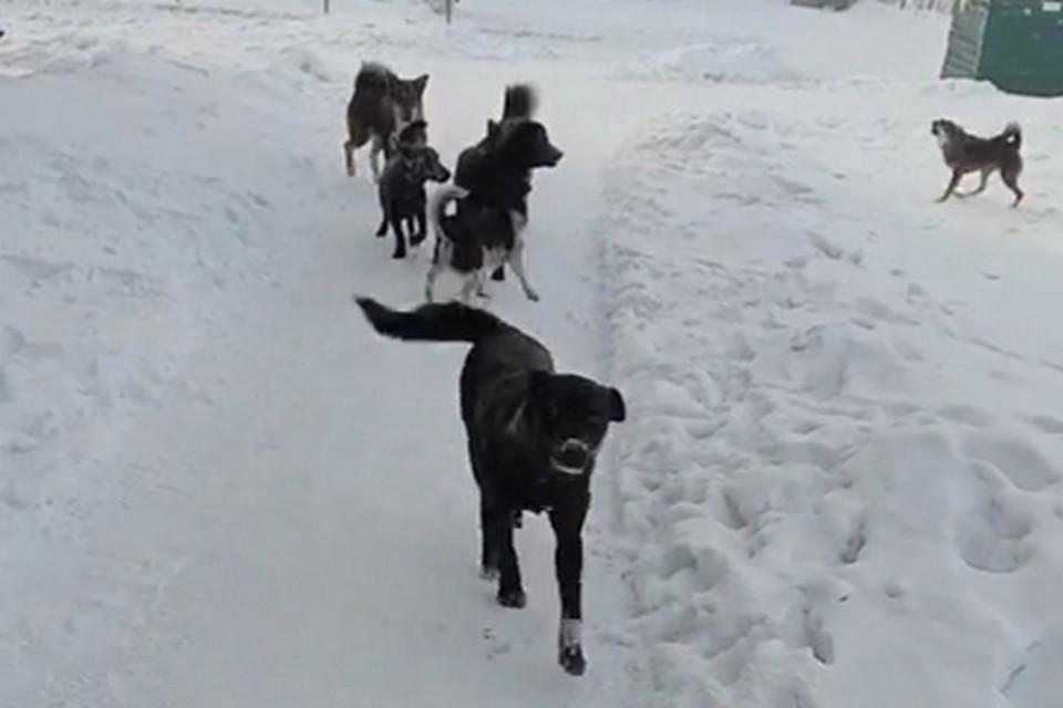 Стая собак напала на новокузнечанку с двумя детьми. ФОТО: кадр видео Анжелики Назаровой.