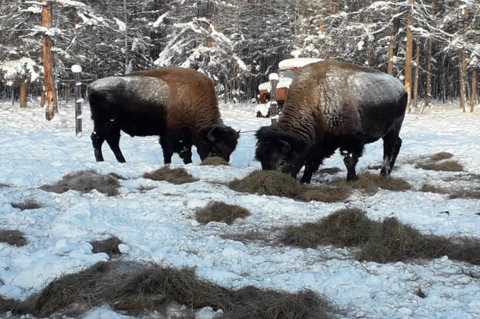 У метеостанции в Якутии заметили отбившихся от стада бизонов ФОТО: Минэкологии Республики Саха (Якутия)