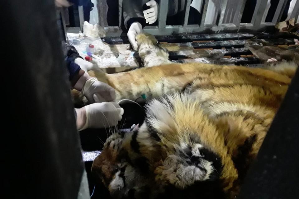 Тигрица была сильно истощена, а лапы и хвост серьезно обморожены. Фото: Центр «Амурский тигр»