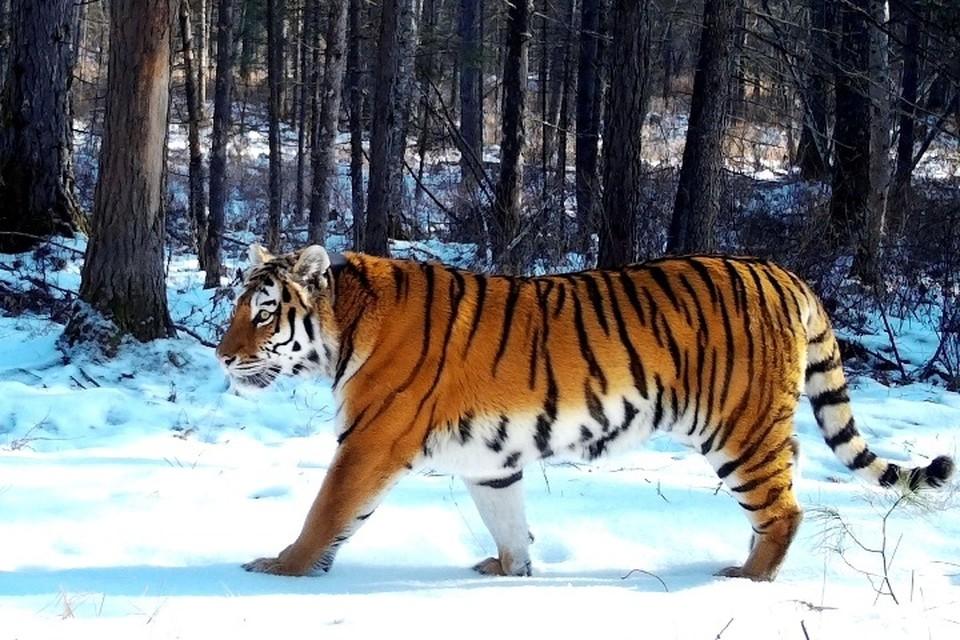 Зоологам удалось получить кадры, рассказывающие о жизни амурских тигров