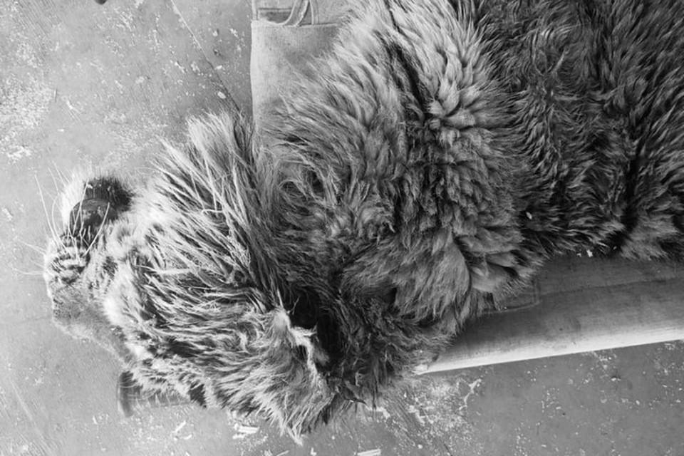 Накануне очередного обследования (11 февраля) амурская тигрица умерла