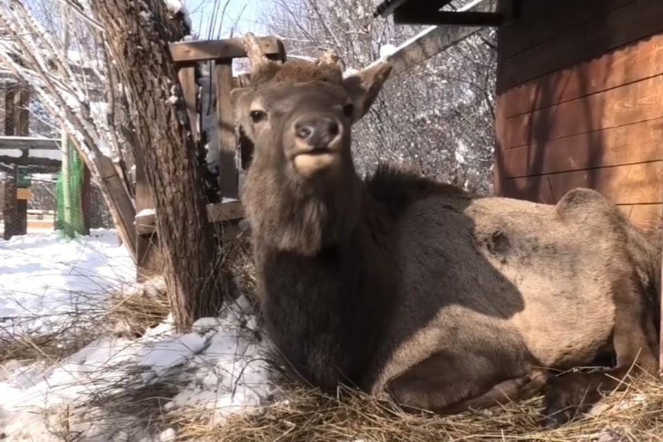 В иркутском зоосаде записали на видео крик марала, недовольного посетителями .