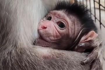 Милота зашкаливает. В приморском зоопарке впервые родился малыш редкой макаки