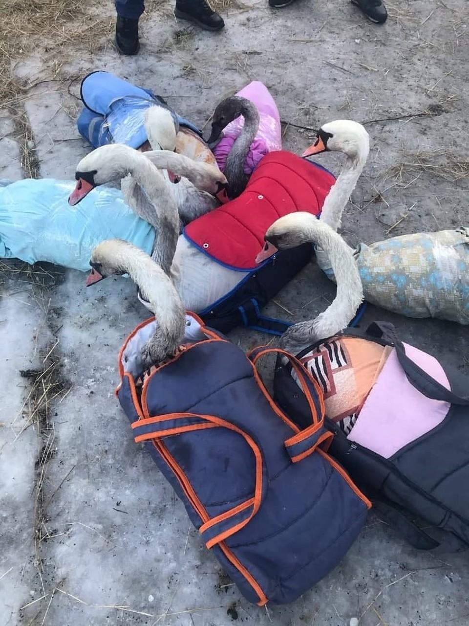 Горожане Балтийска спасли лебедей - достали их из мазутного пятна.