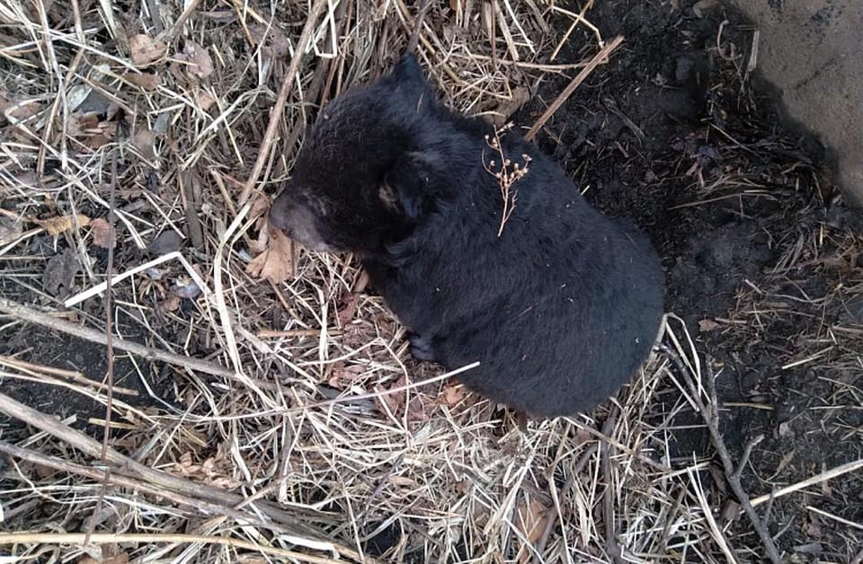 После нападения на человека медведица могла не вернуться к медвежонку. Фото: правительство Приморского края
